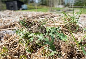 Ogräset lägger Kajsa på täckmaterialet så att det torkar och blir en del av täckbarken.