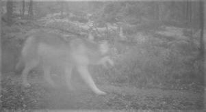 Att det är en varg är tydligt även på den grå bilden, och att det är en valp visar kroppens proportioner. Foto: Länsstyrelsen i Södermanlands län.