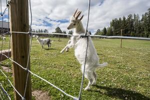 Under våren har flera killingar fötts på gården.