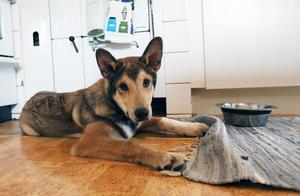 Valpen Skoguls Loke är nu 16 veckor och har stor aptit på livet. Han är av rasen Västsibirisk Laika och ska bli en riktigt bra jakthund – är det tänkt.