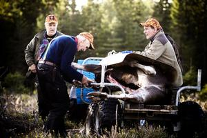 Tord Norling, Tore Blomqvist och Alf Andersson hjälps åt att surra fast älgen på vagnen.