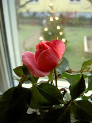 Den här rosen plockade jag i trädgården den 27/12 2011!!!!!!!
