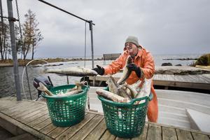 Båten ligger en bra bit under bryggan och Hans Johansson, fiskare på Sandshagen vid Göksholm, får lyfta upp varenda fisk mer än en meter. Normalt ligger båten ovanför bryggkanten, och det är enklara att landa fisk.