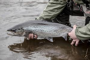 Sedan säsongsstarten 2013 får inte en enda fisk tas upp från nedre Harmångersån. All fångad fisk ska släppas tillbaka. Det är ett sätt att få en stabil fiskstam i ån.