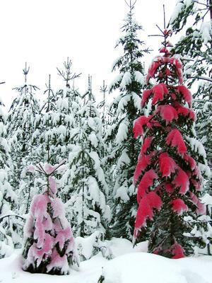 Aspartam heter en serie foton tagna av snöklädda granar. Snön på granarna har målats på plats i skogen med hjälp av högtryckssprayflaska och giftfri vattenfärg.Foto: Emma Billbäck