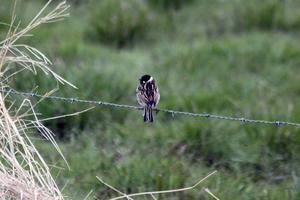 Sävsparven är en förhållandevis lite skygg liten fågel men jag lyckades få denna på bild när den satt på en taggtråd som omger betesmarken vid Lövsta gård.