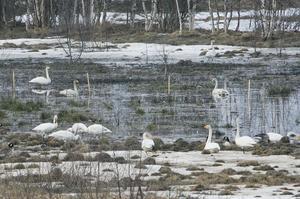 En fågelsjö har uppstått mitt ute på åkern i Tosätter.