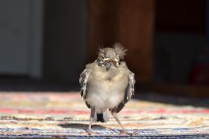 Hittade den lilla fågelungen på vinden när vi kom till sommarstugan.Helt orädd och med en härlig sommarfrisyr.