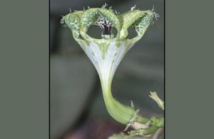Fallskärmsrankan Ceropegia sandersonii har visat sig vara en av de märkligaste växterna i världen. Den lockar till sig pollinerande flugor genom att härma doften från döende honungsbin.   Stefan Dötterl