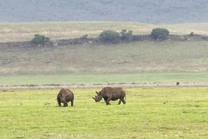Spetsnoshörningar i Ngorongoro.