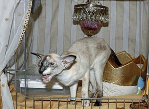 Cathrin Lindqvist intygade att siameskatten Angry var en snäll och godmodig katt, en prinsessa  som har både krona och fin lampa i sin utställningsbur. Men Angry ville inte posera vackert när NA skulle ta en bild.