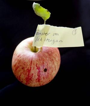 VÄNSTER OM LEKSTUGAN. Det här är ett av de äpplen som paret Susanna Nyström och Magnus Svärd tagit med sig för att få fastställt vilken sort det är. Det visade sig att det träd som växer till vänster om lekstugan på deras tomt bär på äpplen av sorten Charlamovsky.