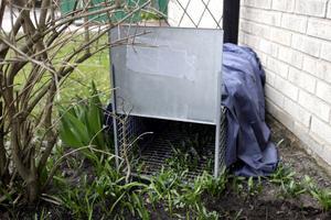 Grävlingsfälla. När grävlingar bygger gryt i bostadsområden blir det problem. FOTO: KENNETH HUDD