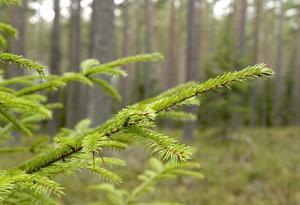 Det måste löna sig att sköta skogen, framförallt på lång sikt, skriver Ann Helleday. Foto:  Anders Wiklund / SCANPIX