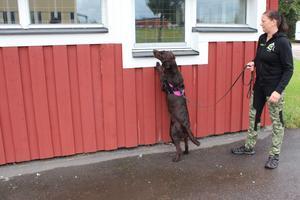 Doften kan vara placerad både högt och lågt vilket gör det till en större utmaning för hunden.