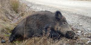 Hittar man ett dött vildsvin i naturen så vill SVA gärna ha in uppgifter om det.