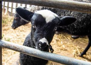 Alla lamm som har kommit i år är mörka, inte ett enda helvitt.
