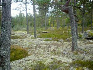 Borudan-Pellemossen (ligger mellan Älmsta, Skebobruk och Hallstavik), 128 hektar. Omväxlande område med naturskog med bland annat örtrika granpartier och ett rikt fågelliv. Exempel på skyddsvärda arter här: kopparspindling, gul lammticka, lunglav och aspgelélav. Foto: Länsstyrelsen