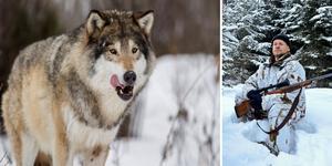 Naturvårdsverket säger nej till licensjakt på varg kommande jaktsäsong.