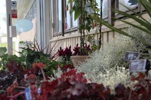 Floristen har till en början öppet tre till fyra gånger i veckan.