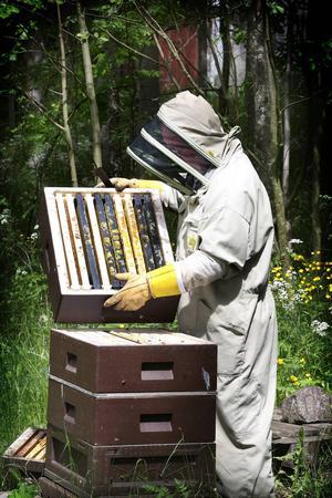 Närmare 6 ton honung skördar biodlaren Matts Olsson.