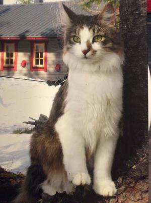 Katten Missen. Foto: Marianne Gabrielii