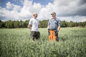 Spannmålsbönderna Oscar Andersson och Håkan Fallgren i Järna har antagligen förlorat mer än halva skörden på grund av torkan.