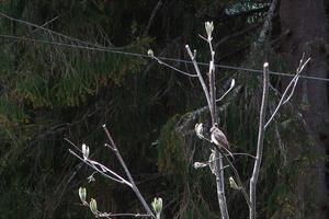 Grå flugsnappare på sin gren