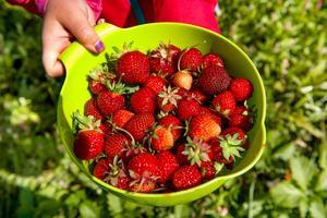 Självplock av jordgubbar i Ängomsbodarna.