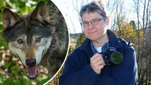 Malungsforsbon Berit Djuse fick se en varg på nära håll – två gånger. Som frilansfotograf grämer hon sig över att hon inte lyckades fånga vargens rådjursjakt på bild. Foto: TT och Anders Mojanis/Arkiv