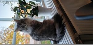 Molly är en renrasig skogskatt och är 1 år 3 månader. Hon är en väldigt social katt, vill alltid vara med oss vart vi än är. Hon pratar med oss och leker och busar. Hon älskar att sitta i fönstret och titta på alla fåglar. Bild: Ingela Niemeijer
