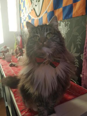 174) Katten Snoddas firar sin fjärde julafton, som vanligt under bollnäs flaggan med finflugan på. Foto: Patric Westelius