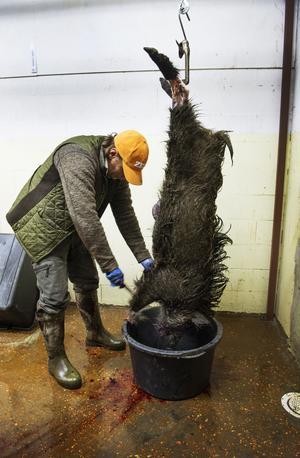 Ett vildsvin flås efter avslutad jakt. /FOTO: Lars Pehrson / SvD / TT