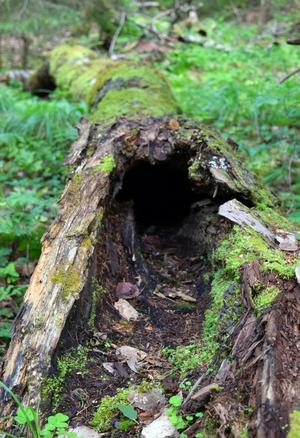 Även de fallna hålträden nyttjas som skydd av olika arter.