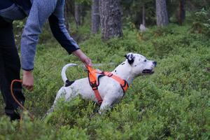 Zigge trivs allra bäst när han får vara ute och spåra eller söka i skogen.