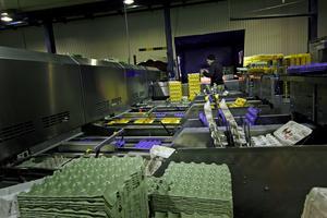 Varje dag paketeras 37 500 ägg på Dala Äggs fabrik i Långshyttan.  Av de är 6000 ägg ekologiska något som går väl hem hos handlarna.