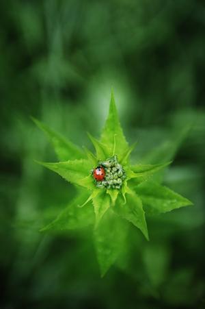 Knopp. Nyckelpigan vilar på en trädgårdsnattviol i knopp.