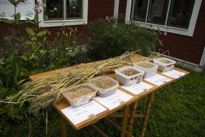 På Olmårs gård odlas ekologiskt spannmål, bland annat dala lantvete och svedjeråg.