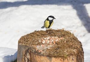 En talgoxe tar för  av några utlagda frön. En av många arter som drar till sig fågelskådare i trakterna kring Avesta.