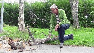 – Jag är rädd att här kommer att hända en olycka vilken dag som helst. Träden här är ruttna eller helt död, säger Bengt Tallryd på Marielundvägen i Östersund