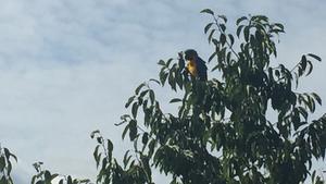 Papegojan Elis har hittats och nu hoppas ägaren att hon snart är hemma igen.