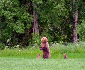 Björnmamman spanar på fotografen och ungarna ser nyfiket på.