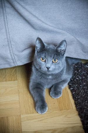 Katten Diesel är inte bara busig och söt – hon matchar även den gråa soffan i vardagsrummet.