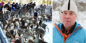 """""""Vi ska samla ihop renarna, slakta och skilja ut dem i vintergrupper för att flytta dem till olika områden men det kommer aldrig att bli klart i vinter"""" säger Peder Johansson som är rovdjursansvarig i i Tåssåsens sameby. Foto: Arkiv/Karin Johansson"""