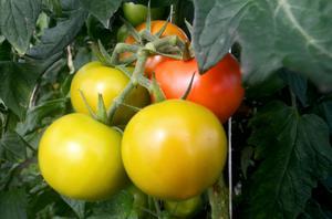 Familjen Pellas har odlat KRAV-tomater i snart 25 år.
