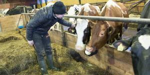 Idag har makarna Camilla och Sten Olsson färre kor i ladugården på grund av sommarens torka.