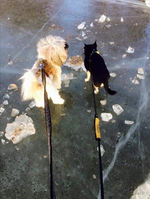 Om bilden: Mina hundar Morris och Milton och jag promenerade på isen på Björnön vinter 2016. En skön och fin promenad. Foto: Malin Ekdahl Blomqvist