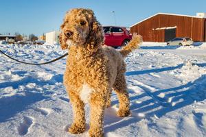Reporterns labradoodle Märta tycker det är jobbigt när det blir för kallt. Hon kan bli stel och gör närmast krampaktiga rörelser när hon rört sig i snön för länge. Veterinärens bästa tips för att undvika att hunden blir kall: Ta kortare promenader.Bild: Moa Fredholm