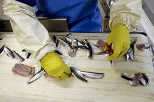 Fiskrensning hos Gävlefisk.