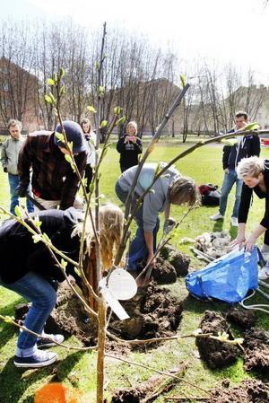Två plommonträd planterades illegalt i parken utanför Borgarskolan i samband med att gerillaodlare från Stockholm i går besökte en miljökurs i Gävle.